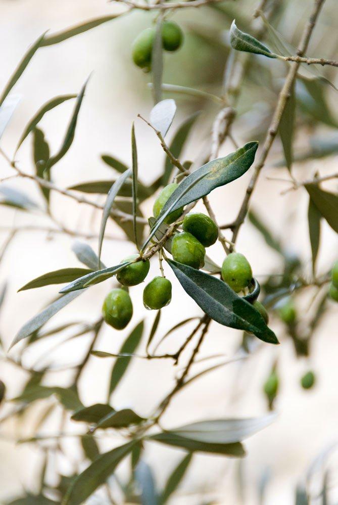 Benefici dell'olio extravergine